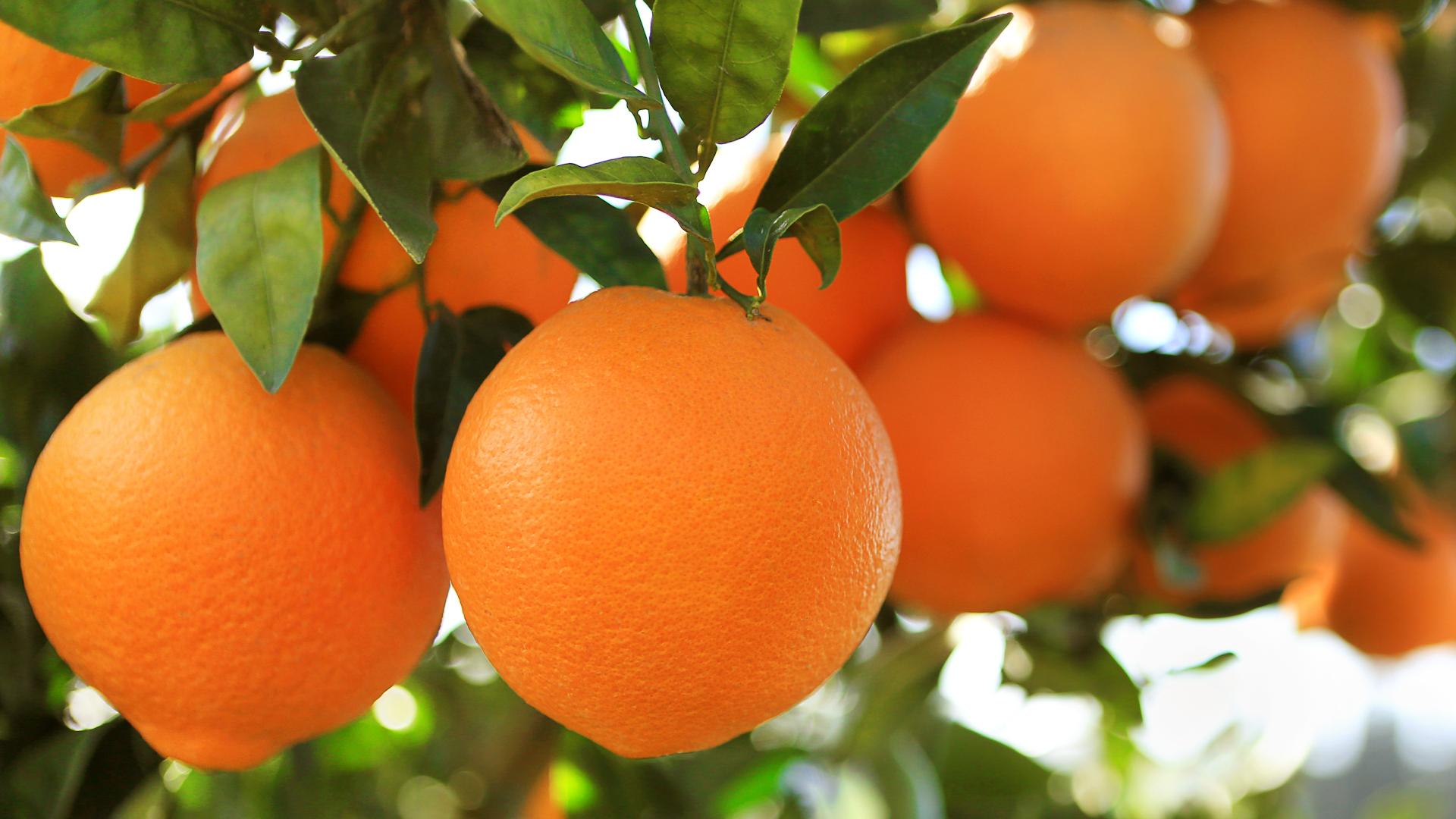 Arancio massese