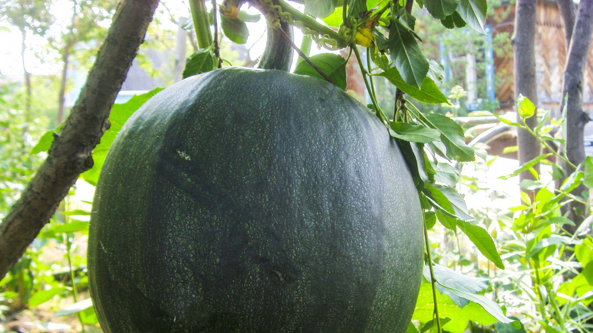 Cocomero gigante